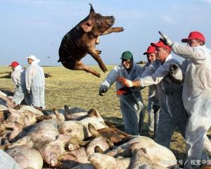 三全水饺检测出非洲猪瘟,食品安全法再次敲响了警钟!